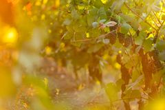 Bunch of grapes on a vineyard during sunset. Royalty Free Stock Photos
