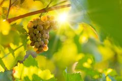 Bunch of grapes on a vineyard during sunset. Royalty Free Stock Photography