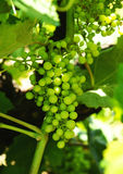 Bunch of grapes in a vineyard Stock Image