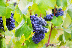 Bunch of grapes at vineyards plant stock images