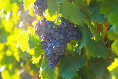 Bunch of grapes at vineyards plant stock photos