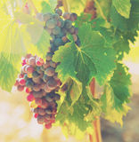 Bunch of grapes at vineyards plant Royalty Free Stock Photos