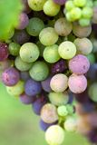 Bunch of grapes (white and red grapes). Bunch of grapes - white and red grapes stock images