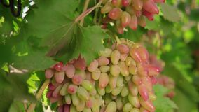 A bunch of grapes, white grapes on a vine.Ripe Grapes On The Vine For Making White Wine stock video
