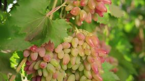 A bunch of grapes, white grapes on a vine.Ripe Grapes On The Vine For Making White Wine stock footage