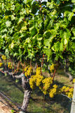 Bunch of Grapes for White Wine. A bunch of grapes for white wine hanging on the vine at a Long Island vineyard stock images