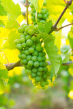 Bunch of Grapes at Winery Stock Images