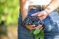 Bunch of grapes in woman hands Royalty Free Stock Images