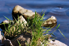Bunch of grass at the water Royalty Free Stock Photos