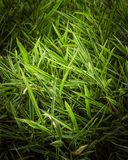A bunch of green bamboo leaves stock photos