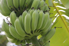 Bunch of green banana on tree Stock Image