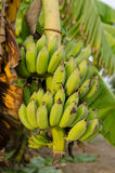 The bunch of green banana Stock Images
