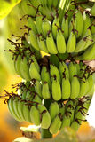 A bunch of green bananas Stock Photo