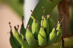 A bunch of green bananas Stock Images
