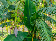 Bunch of green bananas and banana flower on the tree Royalty Free Stock Photos