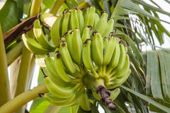 Bunch of green bananas. Banana tree with a bunch of green bananas Royalty Free Stock Images