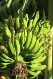 Bunch of green bananas Royalty Free Stock Photo