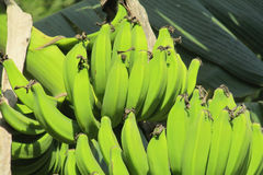 Bunch of green bananas Stock Image