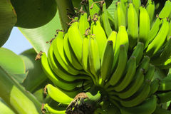 Bunch of green bananas Royalty Free Stock Photo