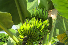 Bunch of green bananas Stock Photography