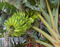 Bunch of green bananas growing in tropics stock photography