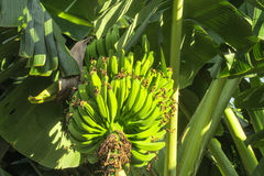 Bunch of green bananas growing in tropics Royalty Free Stock Images