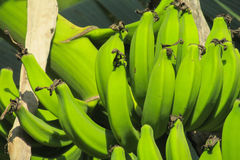 Bunch of green bananas growing in tropics Royalty Free Stock Photo