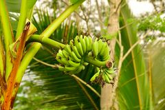 Bunch of green bananas hanging on a tree Royalty Free Stock Image