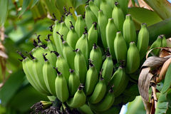 A Bunch of Green Bananas hanging from the tree Stock Photo