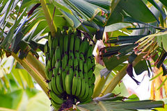 A Bunch of Green Bananas hanging from the tree Stock Images