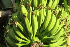 Bunch of green bananas on palm stock image