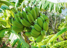 Bunch of green bananas Stock Image