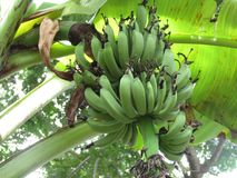 Bunch of green bananas on a tree royalty free stock photos