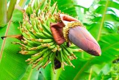 Bunch of green bananas Stock Photography