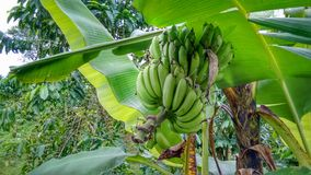 Bunch of green bananas on the tree royalty free stock image