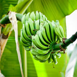 Bunch of green bananas on tree. Royalty Free Stock Images