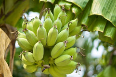 Bunch of green bananas on tree Stock Photos