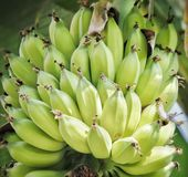 A bunch of Green bannana on the tree stock images