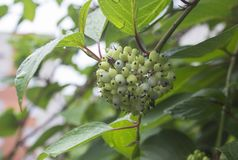 Bunch of green berries after the rain royalty free stock photography