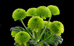 Bunch of Green Button Chrysanthemums Royalty Free Stock Photo