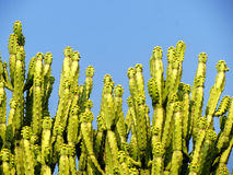 Bunch of green cactus shoots, blue sky Stock Images