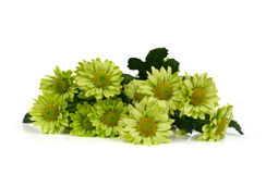 Bunch of green chrysanthemums Stock Photography