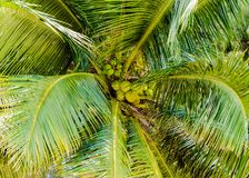 Bunch of green coconuts in palm tree Royalty Free Stock Images