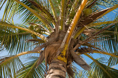 Bunch of green coconuts on palm in Zanzibar Royalty Free Stock Images