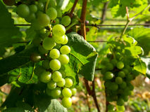 Bunch of green color white grapes fruit in bright vineyard. Closeup bunch of green color white grapes fruit in bright vineyard on sunshine day Royalty Free Stock Image