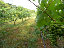 Bunch of green color white grapes fruit in bright vineyard row. On sunshine day Stock Images