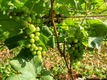 Bunch of green color white grapes fruit in bright vineyard. On sunshine day Stock Image