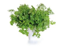 Bunch of green coriander on a white. Background Royalty Free Stock Photo