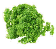 Bunch of green coriander on a white background.  Stock Photos