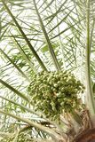 A bunch of green dates Royalty Free Stock Images